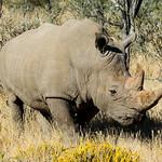 White Rhinoceros - Ceratotherium simum thumbnail