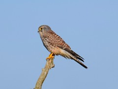 Kestrel at Ditchford Lakes & Meadows, Rushden, Northants. UK (Ian J Hicks) Tags: