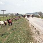 Herd of horses on road from Lake Medina to Jerez thumbnail