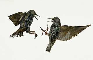 Starling Confrontation