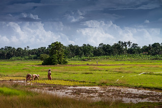 Rice fields, Cambodia
