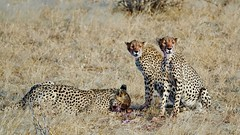 Mother Cheetah and Youngsters  Feeding (Susan Roehl) Tags: kenya2015 lewawildlifeconservancy eastafrica cheetahs motherandoffspring afterchase impala female animal mammal predator carnivore sueroehl photographictours naturalexposures panasonic lumixdmcgh4 100400mmlens handheld takenfromjeep grass outdoors savannah sunrays5 ngc