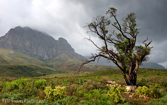 Jonkershoek Tree (Panorama Paul) Tags: paulbruinsphotography wwwpaulbruinscoza southafrica westerncape jonkershoekvalley stellenbosch mountains rain storm light tree nikond800 nikkorlenses nikfilters