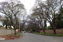 Jacaranda Trees (Rckr88) Tags: johannesburg southafrica south africa gauteng jacaranda trees jacarandatrees jacarandas tree road roads streets street city cities travel