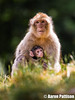 Monkey (Aaron Pattison) Tags: barbary barbarymacaque monkey monkeyforest trentham animal wildlife mammal