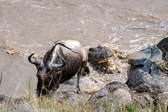 Mara Safari-9889.jpg (MudflapDC) Tags: africa kill safari herd marariver bite teeth nilecrocodile vacation mara porinilioncamp plains zebra kenya gamewatchers maasaimara greatmigration wildebeast water crossing wilderness masai