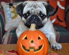 It's hard to keep decorations out with curious Boo Lefou! (DaPuglet) Tags: pug pugs dog dogs halloween pet pets animal animals decorations pumpkin puppy curious cute funny orange holiday october autumn fall coth5 alittlebeauty clydesfriends