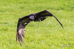 Hooded Vulture (wells117) Tags: 2017 banhamzoo bird clivewells endangered endangeredspecies flying gliding hoodedvulture necrosyrtesmonachus norfolk oct oct2017 vulture wings zoo