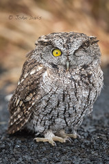 Western Screech Owl 20171019_4909 (GORGEous nature) Tags: deschutesriverscenicbyway oregon otuskennicottii owls raptors shermanco vertebrates westernscreechowl bird car fall injured predator october ©johndavis