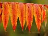 Stunning Sumac (10 20 2017) (PhotoDocGVSU) Tags: fall autumn fallcolor autumn2017 colorful sumac leaves closeup canon5d3 sigma50500os bigma