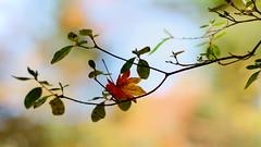 Autumn mood (andotime) Tags: autumnsky color andotime sunnyday япония green a7 botanical autumn 日本 2017 sun 85mm wind manuallensonly yellow light japan sky 紅葉
