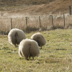 rare sighting of the elusive Icelandic woolly heads (lunaryuna) Tags: iceland sheep backsides funny woollythings domesticanimas sunshine pasture lunaryuna animal