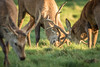 Studley #5 (G&R) Tags: studley royal deer park ripon north yorkshire canon 7d2 sigma 150 600 rut rutting