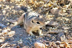 What? (Monkeystyle3000) Tags: ground squirrel white tailed antelope
