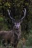 Majestic Red Deer Stag (AKphotographyStaffordshire) Tags: distinguisheddeer antlers wild deer red amanda akphoto dslr sigma d500 nikon weller karl akphotography staffordshire stafford majestic stag