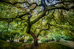 I Want to Get it Right This Time (Thomas Hawk) Tags: america japanesemaple oregon pdx portland portlandjapanesegarden usa unitedstates unitedstatesofamerica washingtonpark westcoast maple tree us fav10 fav25 fav50 fav100