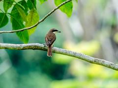 20171007-EM125508 (shutterblades) Tags: bidadari birds longtailedshrike olympusem1mkii olympusmzuiko300mmf4pro14tc