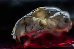 Happy Halloween! (ursulamller900) Tags: helios442 extensiontube 12mm makroring macro macromondays halloween skull schädel spooky