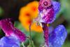 Sweet pea and nasturtium (abiward) Tags: sweetpea nasturtium matucana purple red yellow orange flower flowers waterdroplets droplet waterdrops dew morningdew nikon macro macrophotography closeup reflection