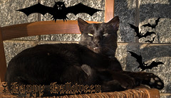 Happy Halloween! (Xena*best friend*) Tags: happyhalloween halloween blackcat dracula bats cats whiskers feline katzen gatto gato chats furry fur pussycat feral tiger pets kittens kitty piedmontitaly piemonte canoneos760d italy wood woods wildanimals wild paws animals calico markings ©allrightsreserved purr digitalrebelt6s efs18135mm flickr outdoor animal pet perfecthalloween scary creepy dreadful frightening horror terrifying