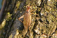 Jumping Bush Cricket? (NaturalLight) Tags: jumpingbushcricket chisholmcreekpark wichita kansas