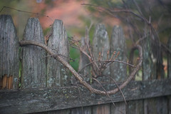 DSC07051 (Old Lenses New Camera) Tags: sony a7r kodak ektar anastigmatektar bantamspecial 45mm f2 plants garden autumn tree leaves branches fence wood texture