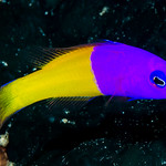 Royal Dottyback - Pictichromis paccagnellae thumbnail