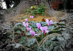IMG_0634 (bob_rmg) Tags: perrow arboretum tree autumn colour leaves bedale thorp cyclamen flower