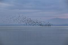 Volo radente (Cristiano Pelagracci) Tags: water birds nature lake landscape trasimeno