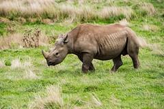 Rhino (mikedoylepics) Tags: rhino yorkshire yorkshirewildlifepark animals d750 mammals nature nikon nikond750