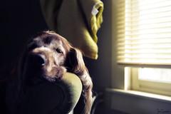 Nap in the Afternoon Sun (Ian Charleton) Tags: flickrfriday letthesunshinein dog pet irishsetter setter old sunshine window chair sleeping nap portrait petportrait dof splitlighting naturallight