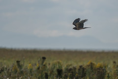 Harrier (Tim Melling) Tags: circus hudsonicus cyaneus northern harrier marsh hawk flying canada timmelling
