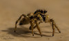 Tiny Arachnid (JDS-photo) Tags: spider arachnid nature wildlife macro lightroom canoneos80d closeup canonef100mmf28lmacroisusm