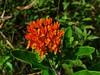 Butterfly Milkweed (matthewbeziat) Tags: butterflymilkweed asclepiastuberosa butterflyweed patuxentresearchrefuge patuxentresearchrefugenorthtract annearundelcounty marylandwildflowers orangeflowers americanwildflowers