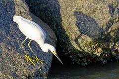Snowy Egret Fishing (dbadair) Tags: outdoor seaside shore sea sky water nature wildlife 7dm2 bird fishing ft desoto
