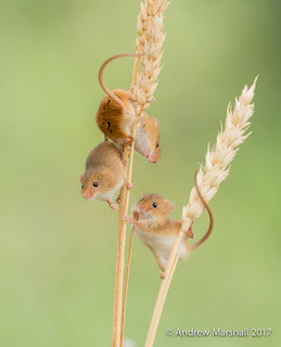 harvest mice (Micromys minutus)