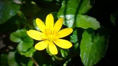Gold button (Astral Eye) Tags: yellow jaune gold doré fleur végétal végétation vert macro feuille nature naturel extérieur pistil