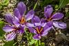 Zafferano (G.Sartori.510) Tags: pentaxk3 leicamcsupercolorplanlk90mmf25 zafferano saffron azafrán fiori flowers pistillirossi redpistils