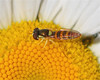 Female Sphaerophoria Syrphid (milesizz) Tags: diptera milwaukee wisconsin wi aschiza syrphidae syrphidflies eristalinae syrphinae syrphini sphaerophoriacontigua