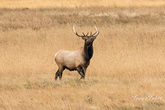 Young Elk bull acting proud of his accomplishment
