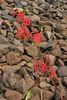 track ballast (pancolar user) Tags: trackballast railwayballast gleisschotter parthenocissus lumix25mm lumix1725 panasoniclumix1725mm lumixgasph1725mm red rojo rot rosso rood rouge красный punainen czerwony röd rauður panasonic25mmf17