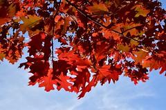 "red oak (  Quercus rubra ) червен дъб DSC_0493 (Me now0) Tags: redoakleaves червендъблиста nikond5300 micronikkor40mm europe park insect macro никонд5300 юженпарк софиябългарияевропа ""nikonflickraward"" naturebynikon quercusrubra"