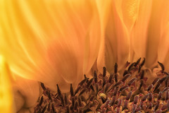 Sunflower 291 of 365 (4) (bleedenm) Tags: 2017 august flowers home macro sumer sunflower missoula