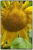 Sunflower (Steve4343) Tags: nikon d70 sunflower garden northeast tennessee steve4343