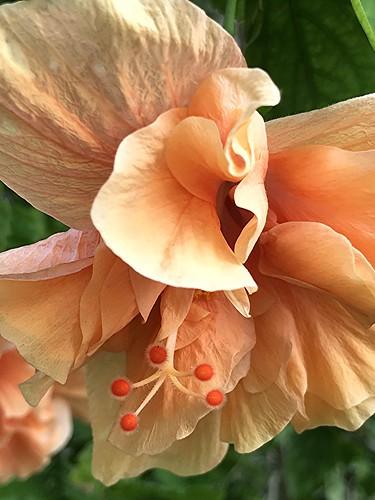 Like a tissuey skirt... wind blown orange Hibiscus