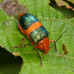 Metaxyonycha sp., Chrysomelidae thumbnail