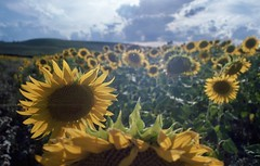 Summer 2017 (michele.palombi) Tags: sunflowers tuscany film 35mm kodak portra400 italy summer olympus om1 analogico