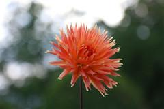 (jc.dazat) Tags: fleur flower dahlia asteraceae nature extérieur couleurs colours color flou blur photo photographe photographie photography canon jcdazat