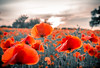 Filed Of Red (A.Tongue Photography) Tags: poppy poppies field poppyfield summer leicestershire red flower