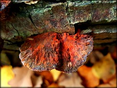 Red fungus (will668) Tags: mushrooms fungus fungi blean kent toadstools undergrowth intheundergrowth nature spores shrooms bleannaturereserve